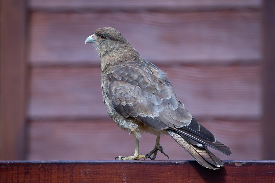 Trębacz brązowy Ptaki Nikon D7200 Sigma 150-600mm f/5-6.3 HSM 0 Patagonia ptak kręgowiec dziób gołębie i gołębie pióro zięba stock photography gołąb ptak przysiadujący Rock dove skrzydło