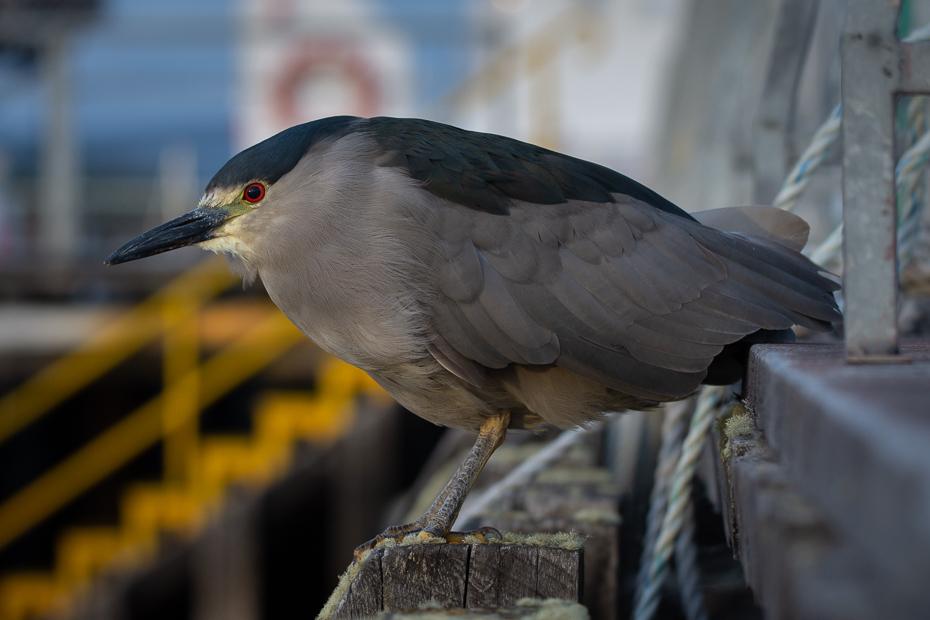 Ślepowron Ptaki Nikon D7200 Sigma 150-600mm f/5-6.3 HSM 0 Patagonia ptak kręgowiec dziób nocna czapla dzikiej przyrody pióro Striated Heron skrzydło