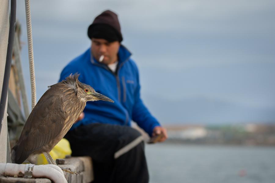 Ślepowron Argentyna Nikon D7200 Sigma 150-600mm f/5-6.3 HSM 0 Patagonia ptak dziób dzikiej przyrody wakacje