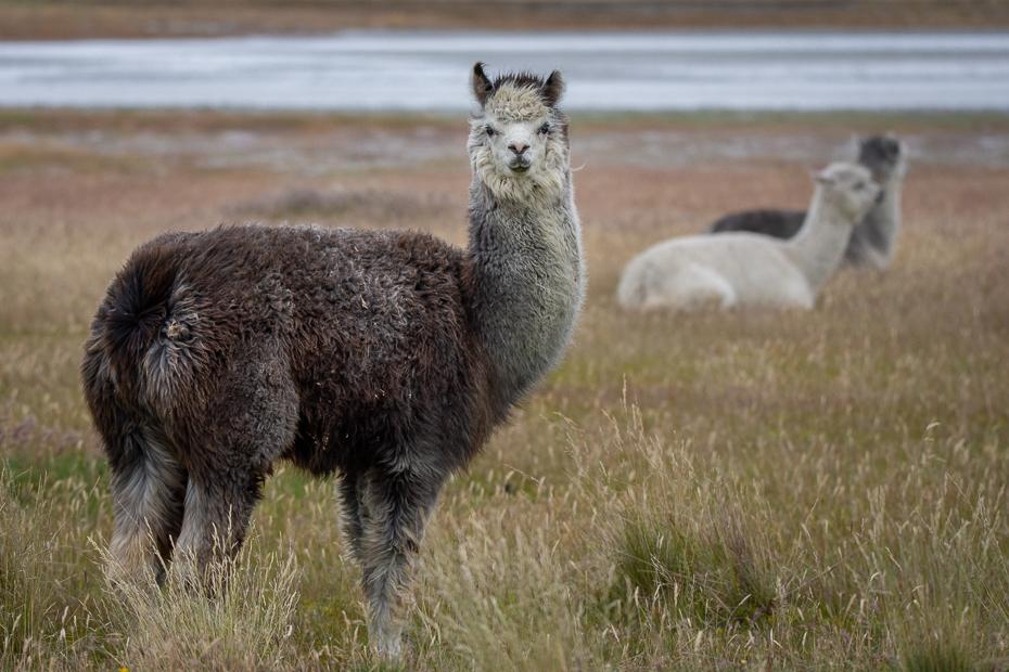 Lamy Argentyna Nikon D7200 Sigma 150-600mm f/5-6.3 HSM 0 Patagonia ssak kręgowiec Lama Alpaka zwierzę lądowe dzikiej przyrody Camelid łąka Wigoń guanako