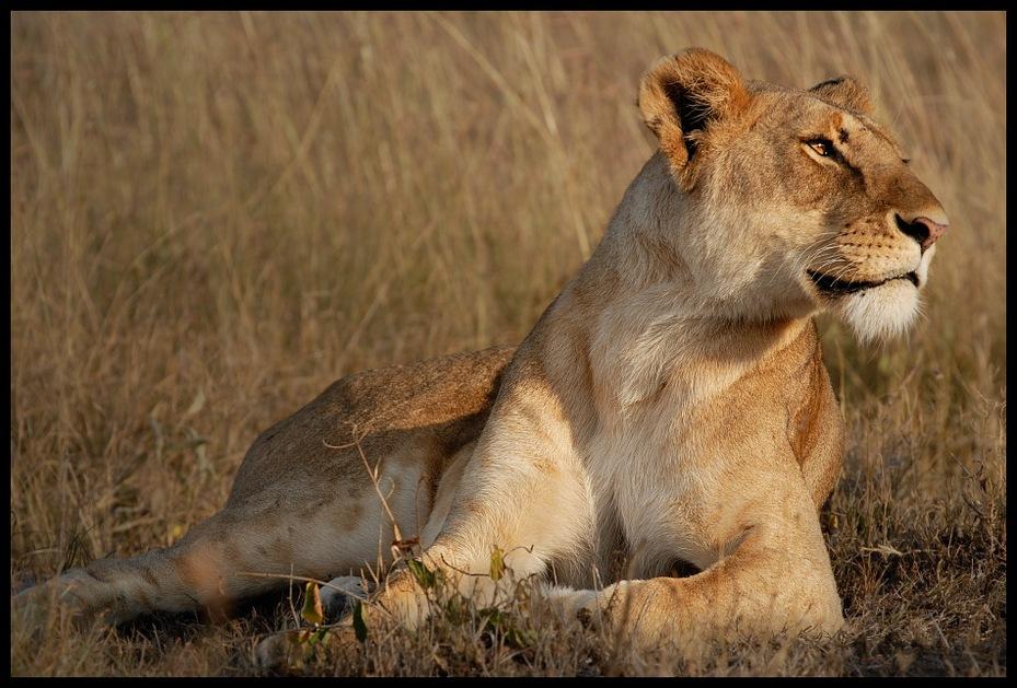 Lwica #15 Przyroda lew ssaki kenia lwy Nikon D200 Sigma APO 500mm f/4.5 DG/HSM Kenia 0 dzikiej przyrody Lew ssak fauna zwierzę lądowe masajski lew pustynia duże koty wąsy safari