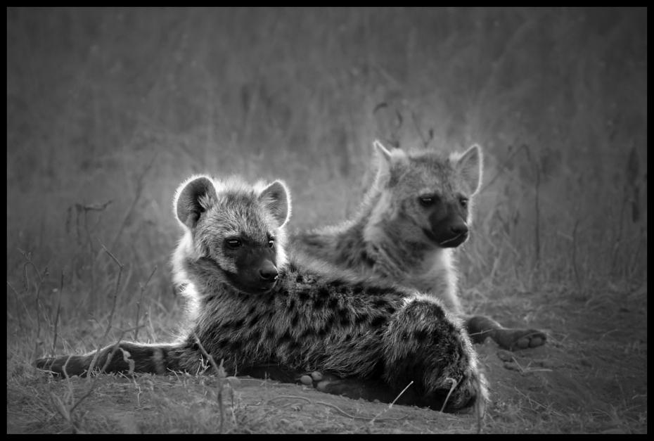 Hieny Przyroda hiena Nikon D200 Sigma APO 500mm f/4.5 DG/HSM Kenia 0 dzikiej przyrody czarny i biały czarny fauna fotografia monochromatyczna ssak fotografia wąsy zwierzę lądowe