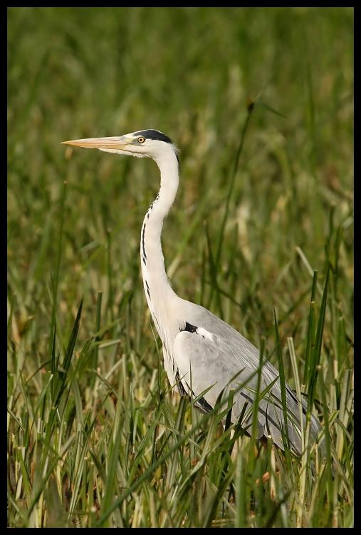 Czapla siwa Ptaki czapla ptaki Nikon D200 Sigma APO 500mm f/4.5 DG/HSM Zwierzęta ptak ekosystem dziób fauna egret Wielka czapla dzikiej przyrody pelecaniformes bocian