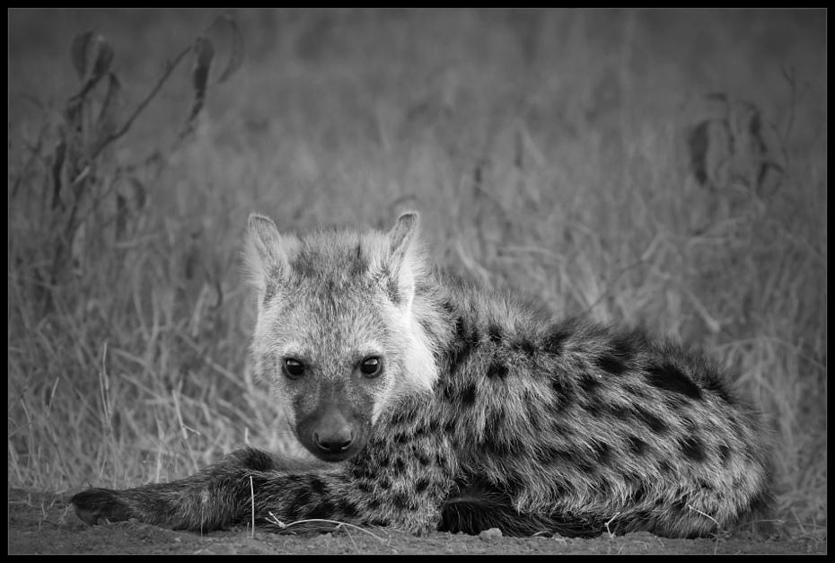 Hieny Przyroda hiena Nikon D200 Sigma APO 500mm f/4.5 DG/HSM Kenia 0 dzikiej przyrody czarny i biały czarny fauna ssak fotografia monochromatyczna wąsy fotografia monochromia oko