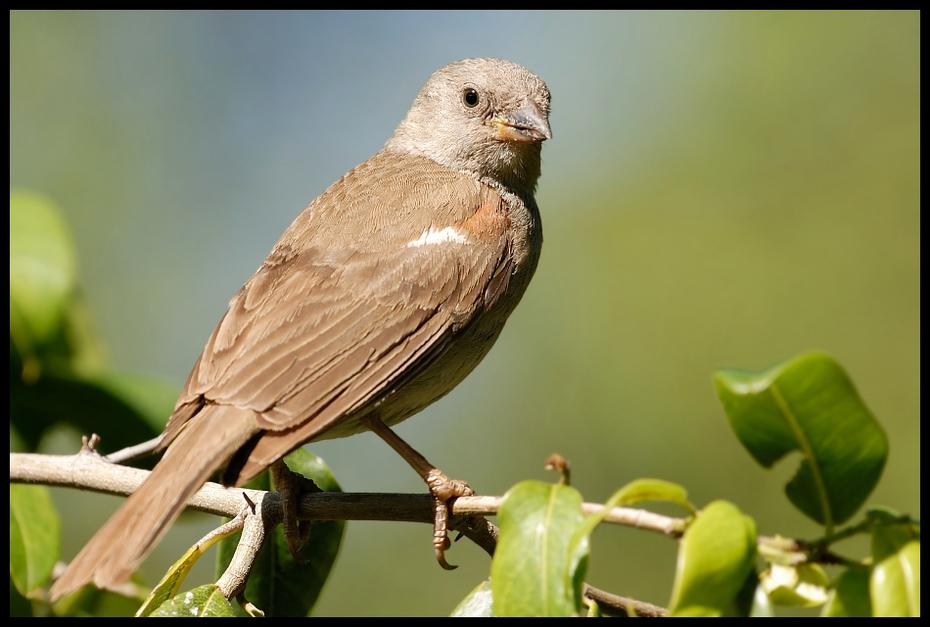 Wróbel siwogłowy Ptaki wróbel siwoglowy ptaki Nikon D200 Sigma APO 500mm f/4.5 DG/HSM Kenia 0 ptak fauna dziób zięba Emberizidae dzikiej przyrody organizm słowik skrzydło