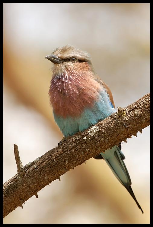 Kraska Ptaki kraska ptaki Nikon D200 Sigma APO 500mm f/4.5 DG/HSM Kenia 0 ptak dziób fauna pióro wałek ścieśniać dzikiej przyrody flycatcher starego świata strzyżyk skrzydło