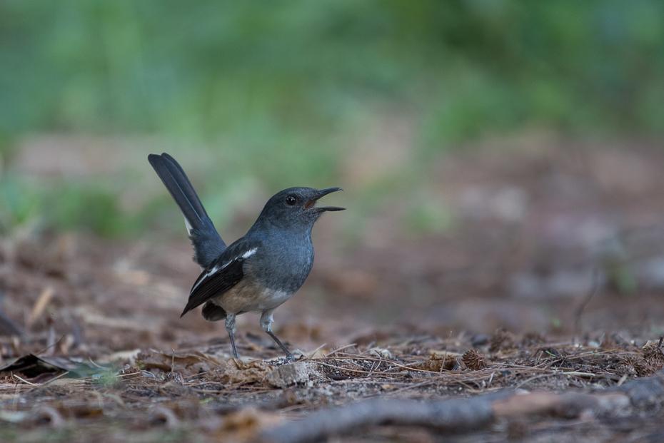Sroczek zmienny Ptaki nikon d750 NIKKOR 200-500mm f/5.6E AF-S Tajlandia 0 ptak fauna dziób dzikiej przyrody flycatcher starego świata strzyżyk organizm kos ptak przysiadujący skrzydło