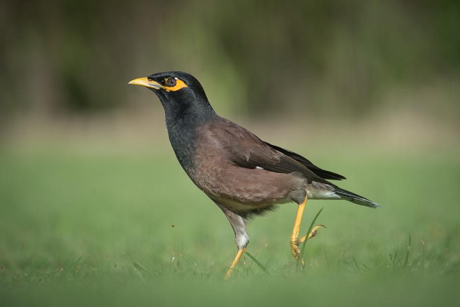 Majna brunatna Ptaki nikon d750 NIKKOR 200-500mm f/5.6E AF-S Tajlandia 0 ptak ekosystem dziób acridotheres fauna dzikiej przyrody pospolita myna organizm kos ecoregion