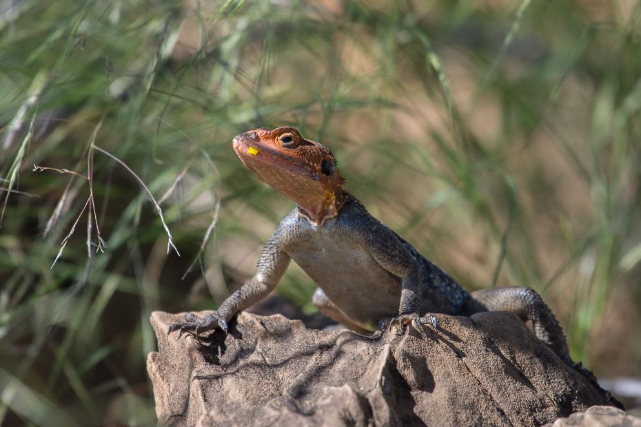 Agama Namibia 0 Nikon D7200 NIKKOR 200-500mm f/5.6E AF-S gad fauna skalowany gad jaszczurka zwierzę lądowe organizm agamidae agama trawa dzikiej przyrody