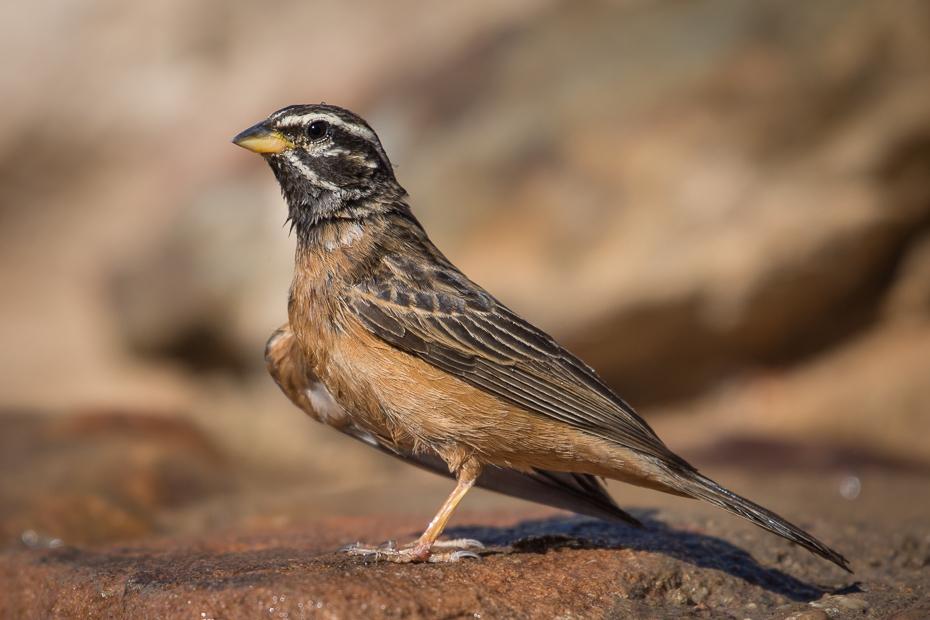 Trznadel cynamonowy Ptaki Nikon D7200 NIKKOR 200-500mm f/5.6E AF-S Namibia 0 ptak wróbel fauna dziób Wróbel zięba ptak przysiadujący dzikiej przyrody skowronek organizm