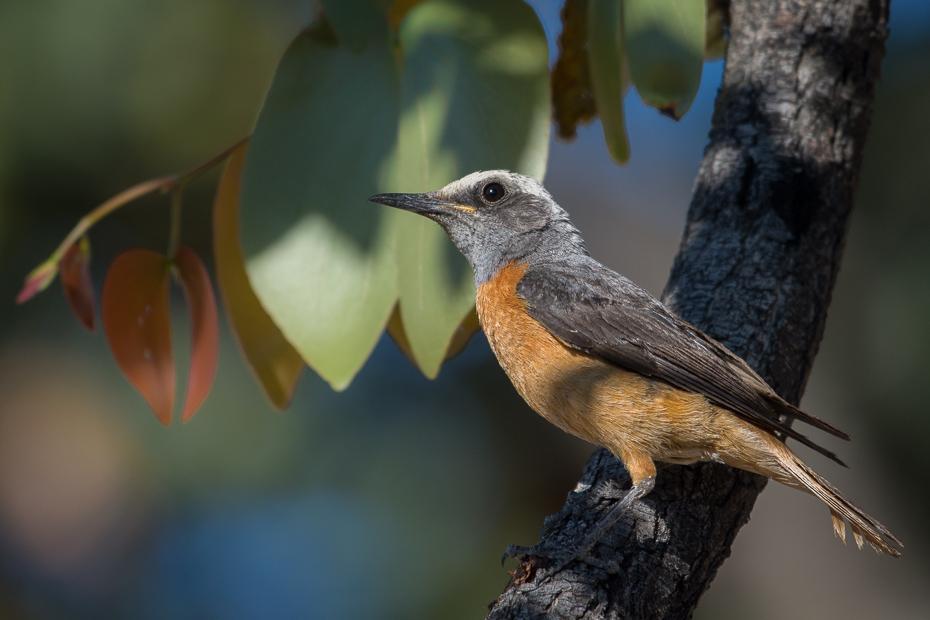 Nagórnik krótkopalcowy Ptaki Nikon D7200 NIKKOR 200-500mm f/5.6E AF-S Namibia 0 ptak dziób fauna dzikiej przyrody flycatcher starego świata strzyżyk ptak przysiadujący pióro skrzydło rudzik