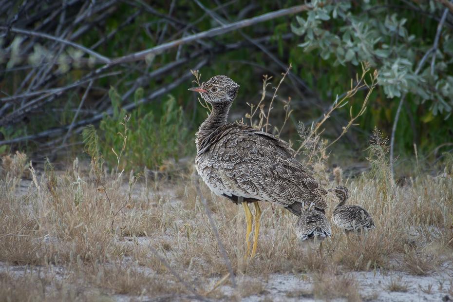 Dropik jasnoskrzydły Ptaki Nikon D7200 NIKKOR 200-500mm f/5.6E AF-S Namibia 0 ekosystem fauna ptak dzikiej przyrody galliformes pardwa ecoregion dziób trawa rodzina traw