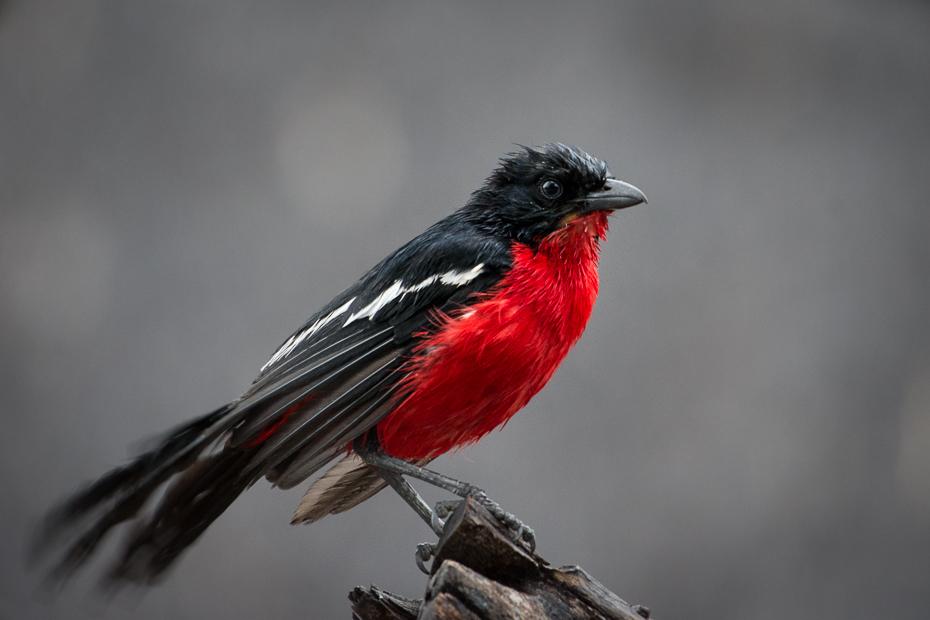 Dzierzyk purpurowy Ptaki Nikon D7200 NIKKOR 200-500mm f/5.6E AF-S Namibia 0 ptak czerwony dziób fauna pióro ścieśniać dzikiej przyrody skrzydło flycatcher starego świata