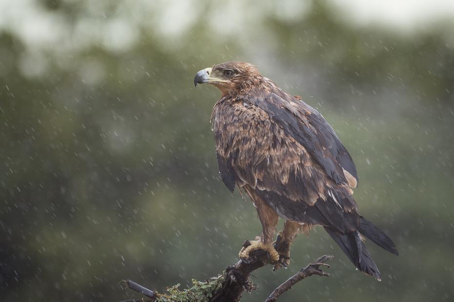 Orzeł sawannowy Ptaki Nikon D7200 NIKKOR 200-500mm f/5.6E AF-S Namibia 0 ptak orzeł ptak drapieżny ekosystem fauna dziób accipitriformes dzikiej przyrody myszołów jastrząb
