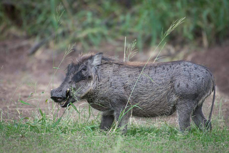 Guziec Ssaki Nikon D7200 NIKKOR 200-500mm f/5.6E AF-S Namibia 0 świnia jak ssak świnia dzikiej przyrody fauna ssak dzika zwierzę lądowe pekari trawa