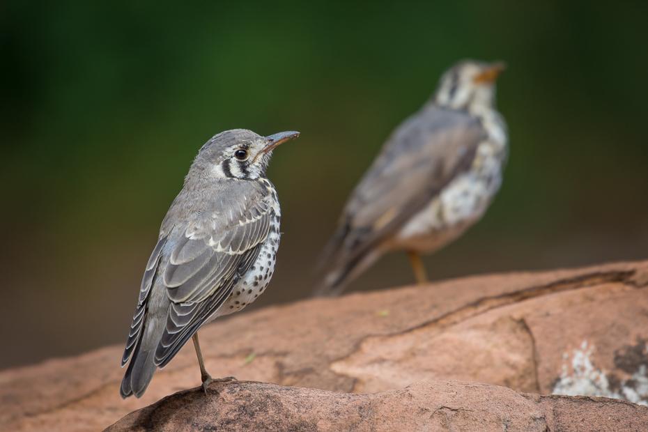Drozd kroplisty Ptaki Nikon D7200 NIKKOR 200-500mm f/5.6E AF-S Namibia 0 ptak fauna dziób flycatcher starego świata wróbel dzikiej przyrody organizm ptak przysiadujący Emberizidae zięba
