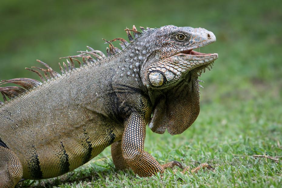 Iguana Gady Nikon D7100 NIKKOR 200-500mm f/5.6E AF-S 0 Panama gad iguana skalowany gad Igwa zwierzę lądowe fauna jaszczurka trawa organizm dzikiej przyrody