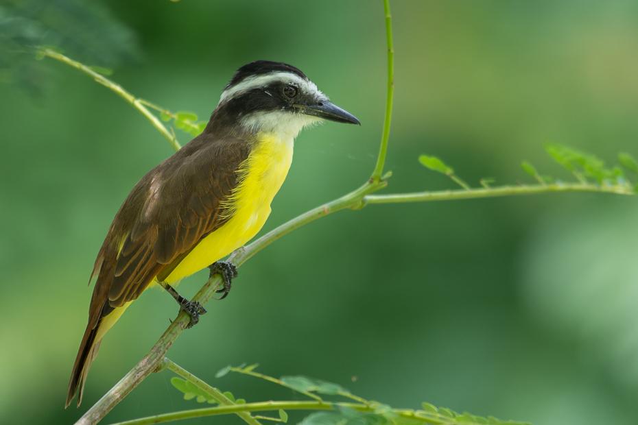 Bentewi wielki Ptaki Nikon D7100 NIKKOR 200-500mm f/5.6E AF-S 0 Panama ptak fauna ekosystem dziób dzikiej przyrody flora organizm flycatcher starego świata coraciiformes