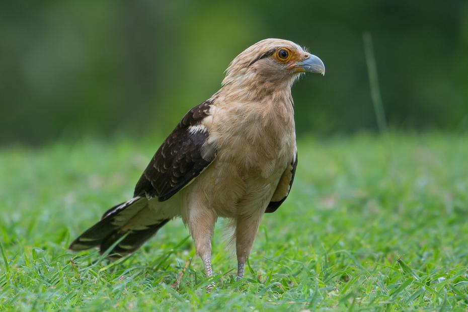 Karakara jasnogłowa Ptaki Nikon D7100 NIKKOR 200-500mm f/5.6E AF-S 0 Panama ptak fauna dziób ptak drapieżny ekosystem jastrząb myszołów dzikiej przyrody sokół organizm