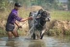 Mycie krów