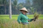 Zbiory ryżu